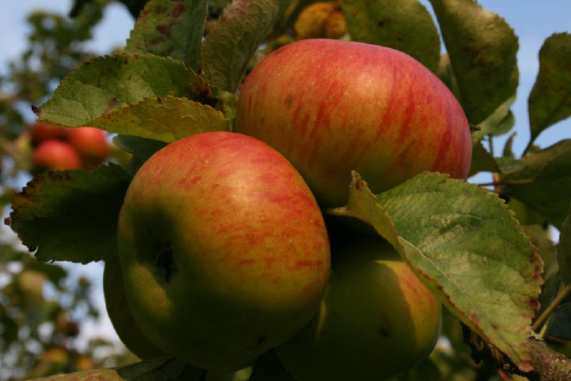 Bramley Apple,               Orchard